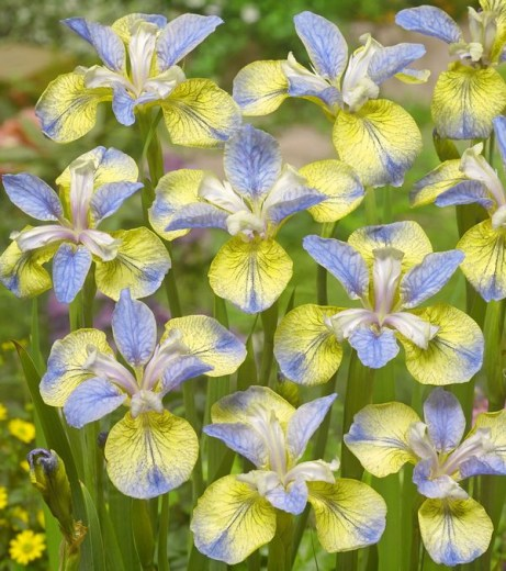Iris Sibirica Tipped in Blue upr1_700_6008
